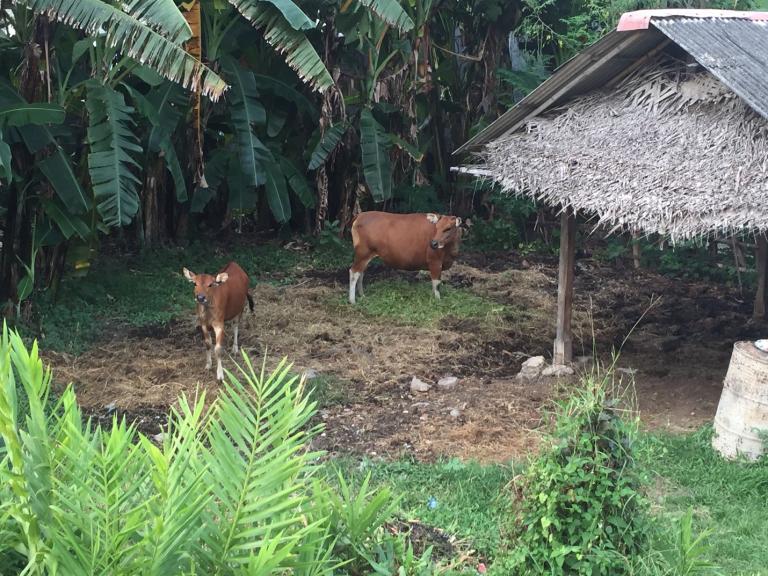 pic3_bali-cattle